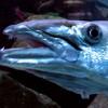 有毒魚の危険性と害